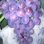 Заря несветая. гроздь 500-1000, ягода 10-12, мускат