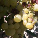 Королева виноградников. Гроздь 500-1000 гр, ягода 12-15 гр, вкус гармоничный