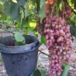 К-ш Находка. Гроздь 700-1500 гр, ягода 7-8 гр, вкус гармоничный