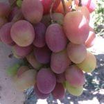 Марсело.Гроздь 800-1500гр, ягода 15-20гр, вкус гармоничный