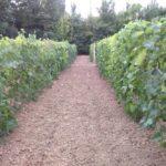 Состояние виноградника