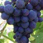Чёрный изумруд. Гроздь 400-600 гр, ягода - 4гр, вкус гармоничный