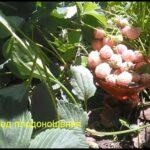 Пайнберри (ананасная ягода)
