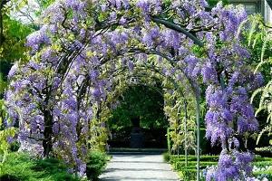 Глициния - замечательное растение для оформления беседок