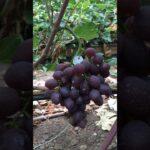 Виноград Альтаир