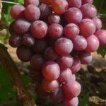 Виноград Арлекин