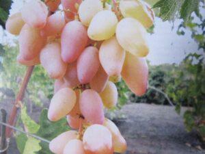 Виноград Авраам